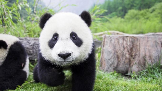 baby-panda-wallpaper